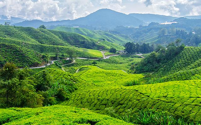 A Java Republic Tea Farm